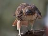 Harris's Hawk (b0941)