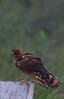 Northern Harrier (b0891)