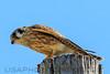 American Kestrel (b1165)