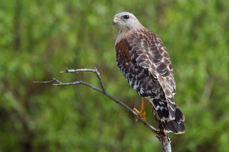Red Sholdered Hawk (b0951)