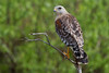 Red Sholdered Hawk (b0951)