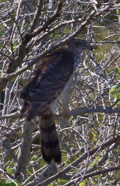 Cooper's Hawk (b0911)