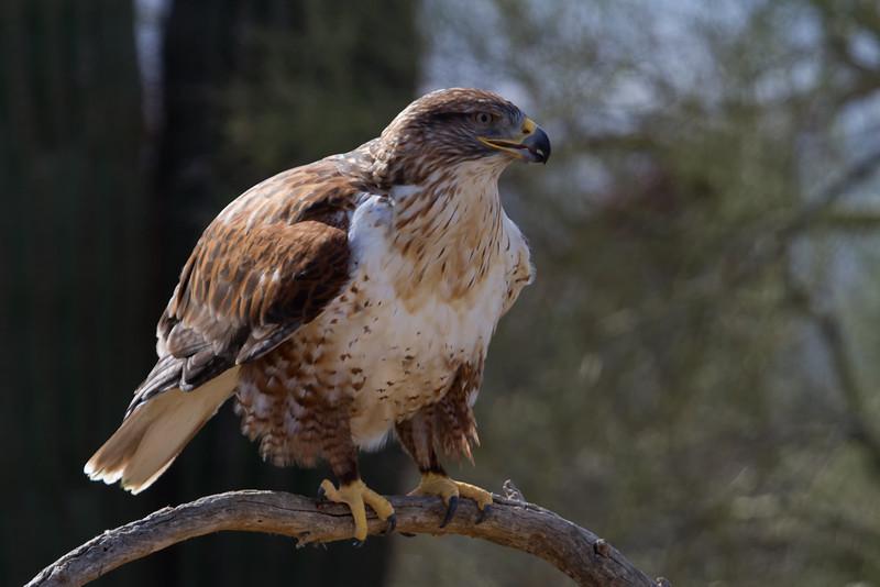 Ferruginous Hawk (b0922)