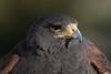 Cooper's Hawk (b0913)