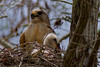Red Sholdered Hawk (0956)