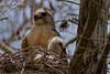 Red Sholdered Hawk (0956)