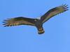 Harris's Hawk (b0942)