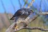 Gray Hawk (b0931)