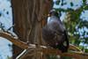 Common Black Hawk (b0901)