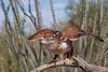 Ferruginous Hawk (b0923)