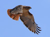 Red Tailed Hawk (b0961)