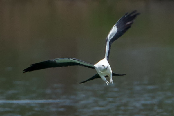 Swallow Tailed Kite (b1275)