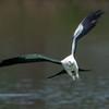 Swallow Tailed Kite (b1275)