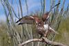 Ferruginous Hawk (b0924)