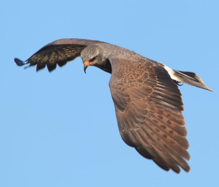 Snale Kite (b1261)