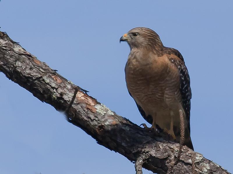 Red Sholdered Hawk (b0952)