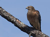 Red Sholdered Hawk (b0952)