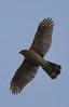 Cooper's Hawk (b0912)