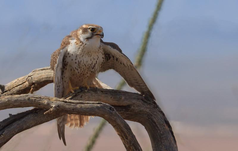 Prairie Falcon (b0581)