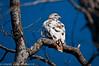 Albino Red-tailed Hawk