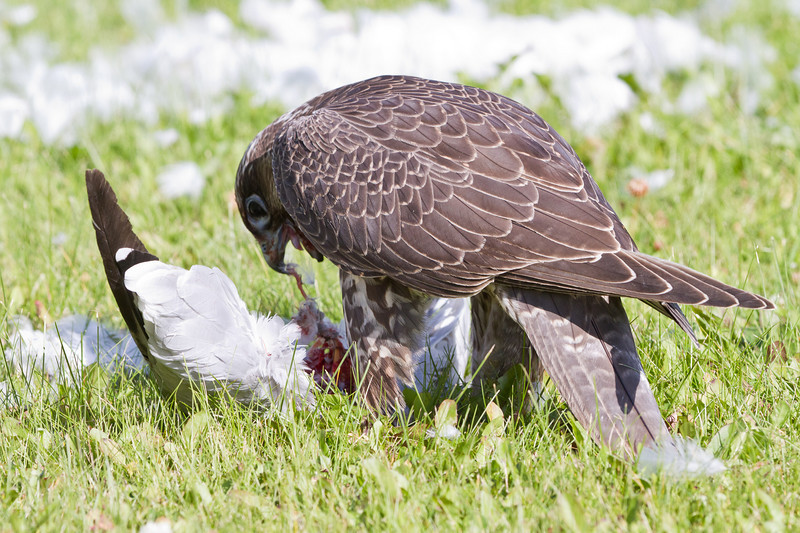 Hawk eating seagull on lawn of town offices in Moosonee, Ontario.