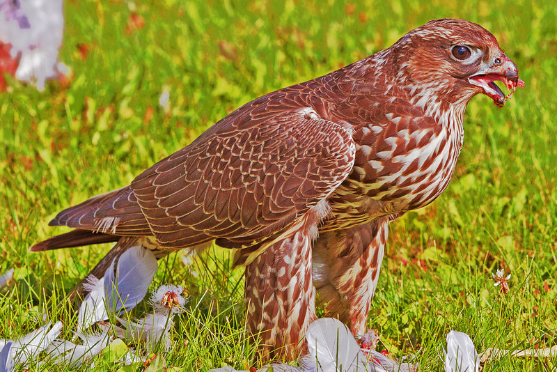 Hawk eating seagull on lawn of town offices in Moosonee, Ontario.<br /> Fake HDR