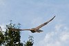 Hawk flying after eating seagull.