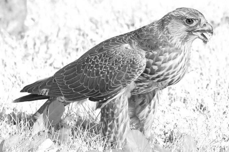 Hawk eating seagull on lawn of town offices in Moosonee, Ontario.<br /> Fake IR