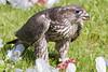 Hawk eating seagull on lawn of town offices in Moosonee, Ontario.