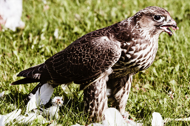 Hawk eating seagull on lawn of town offices in Moosonee, Ontario.<br /> Simulated halftone image (coarse).