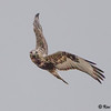 hall road, rough-legged hawk: Buteo lagopus