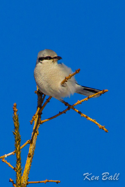 Berrys Side Rd., Constance Bay, northern shrike: Lanius excubitor