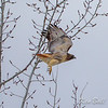 Beacon Hill, red-tailed hawk: Buteo jamaicensis