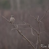 northern shrike: Lanius excubitor, 