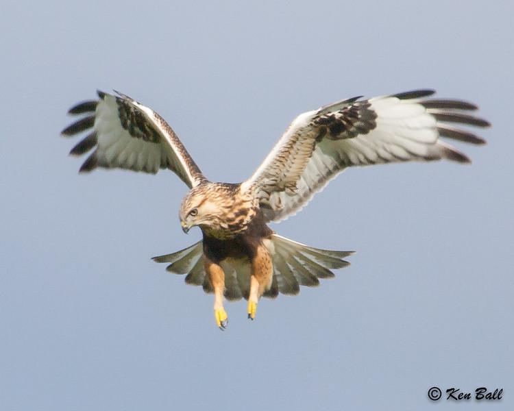 Frank Kenny Road, rough-legged hawk: Buteo lagopus
