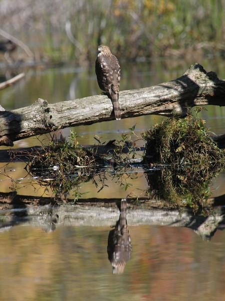 Cooper's hawk: Accipiter cooperii, Mud Lake