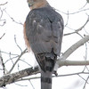 Beacon Hill, Cooper's hawk: Accipiter cooperii