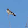 American kestrel: Falco sparverius, Frank Kenny Road