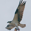 Innis Point Observatory, osprey: Pandion haliaetus