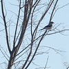 northern shrike: Lanius excubitor, Rockcliffe Airport