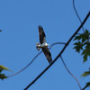 Mud Lake, osprey: Pandion haliaetus