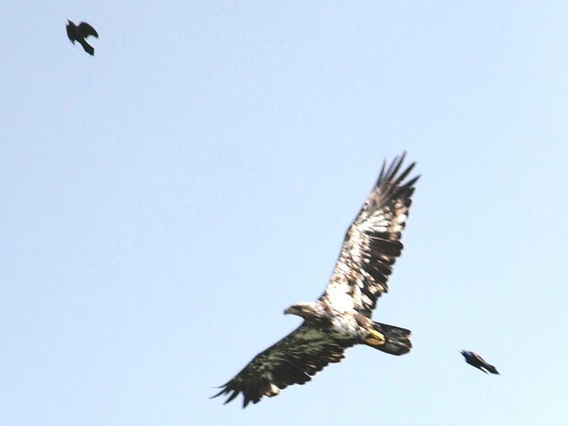 Blackbirds harassing immature Bald Eagle<br /> Ottawa, ON
