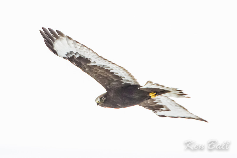 Anderson Road, dark morph, rough-legged hawk: Buteo lagopus
