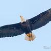 bald eagle: Haliaeetus leucocephalus, Boundary Bay Regional Park-Tsawwassen