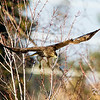 Anderson Road, juvenile: immature, red-tailed hawk: Buteo jamaicensis