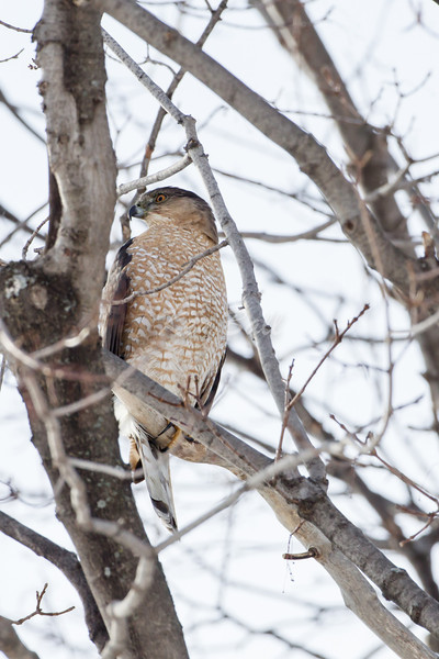 Innis Road, sharp-shinned hawk: Accipiter striatus