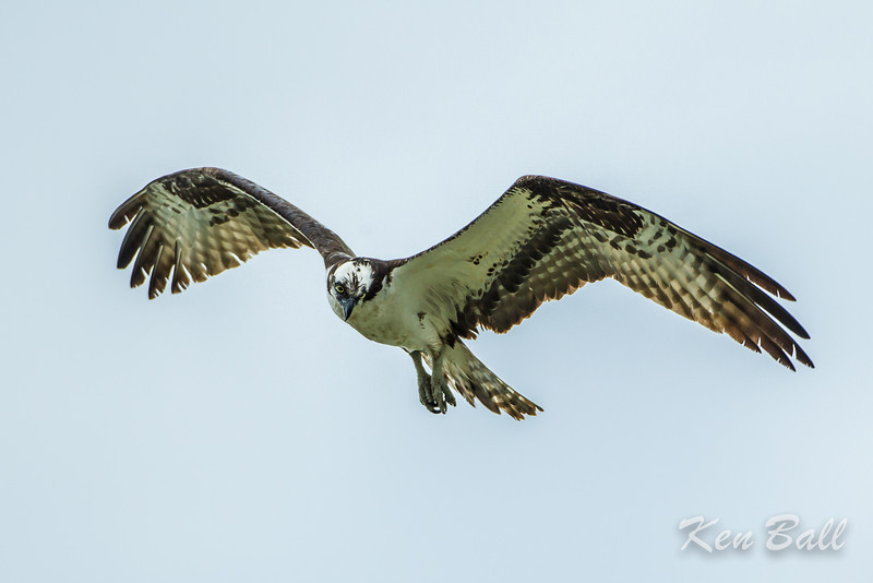Avalon north pond, flying, osprey: Pandion haliaetus