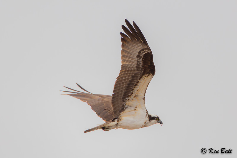osprey: Pandion haliaetus, Richmond Lagoons,Richmond,ON