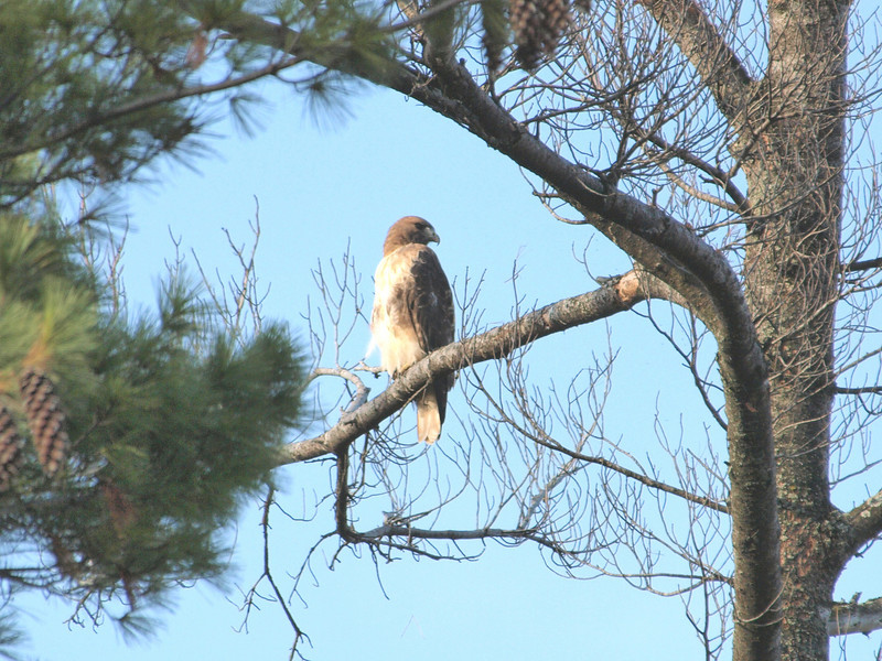 Petrie Island, red-tailed hawk: Buteo jamaicensis