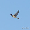 Note the male's blue-gray crown with rufus patch and the row of white circular spots on upper trailing edge of wing.<br /> American kestrel: Falco sparverius, Frank Kenny Road